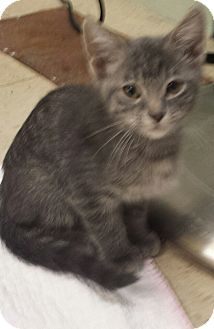 American Shorthair Kitten for adoption in Holden, Missouri - Dusty Sage