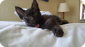 Domestic Shorthair Kitten for adoption in Santa Ana, California - Buckie