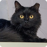 Domestic Longhair Cat for adoption in Elmwood Park, New Jersey - Daisy