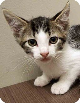 Domestic Shorthair Kitten for adoption in Downers Grove, Illinois - ADOPTED!!!   Luther