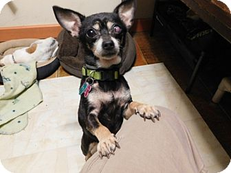 Chihuahua Dog for adoption in Millerstown, Pennsylvania - CiCis