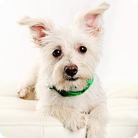 Maltese/Yorkie, Yorkshire Terrier Mix Dog for adoption in Omaha, Nebraska - Seamus
