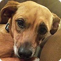 Adopt A Pet :: CeCe - St Louis, MO