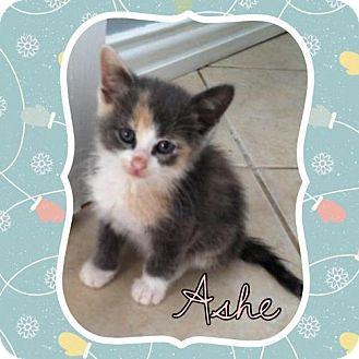 Calico Kitten for adoption in ROSENBERG, Texas - Ashe
