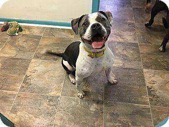 American Bulldog Mix Dog for adoption in Walker, Louisiana - Betty Davis