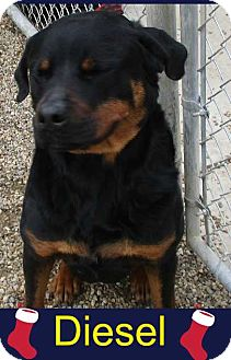 Rottweiler Mix Dog for adoption in Clear Lake, Iowa - Diesel