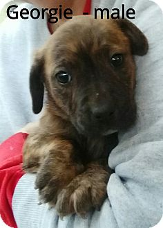 Labrador Retriever Mix Puppy for adoption in Southington, Connecticut - Georgie (has been adopted)