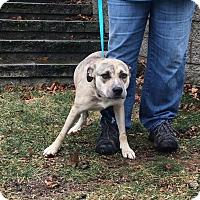 Adopt A Pet :: Grace in Rhode Island! - Brattleboro, VT