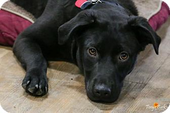 Labrador Retriever Mix Puppy for adoption in Princeton, Minnesota - Rocko **Multiple Applications**