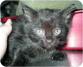 Domestic Mediumhair Kitten for adoption in San Clemente, California - RAMONA