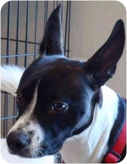 Basenji/Boston Terrier Mix Dog for adoption in Overland Park, Kansas ...