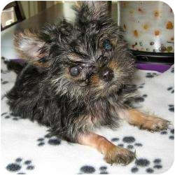Yorkie, Yorkshire Terrier Puppy for adoption in The Villages, Florida - Bentlee