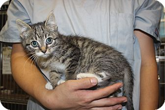 Domestic Shorthair Kitten for adoption in New York, New York - Jada