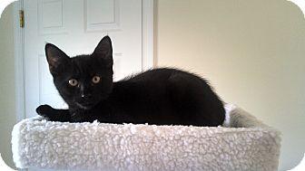 Domestic Shorthair Kitten for adoption in Horsham, Pennsylvania - Tucker