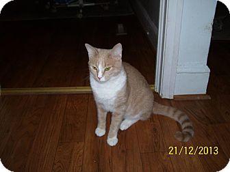 Domestic Shorthair Kitten for adoption in Waxhaw, North Carolina - Cooper