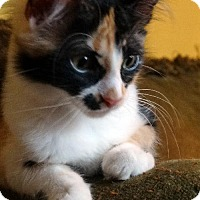 Calico Cat for adoption in Alvin, Texas - Lacey