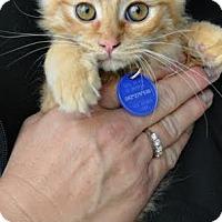Adopt A Pet :: Kitty 1 - Temecula, CA