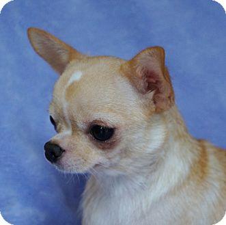 Overland Park Ks Chihuahua Meet Honey A Dog For Adoption