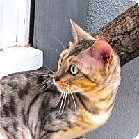 Adopt A Pet :: Nessie - Davis, CA