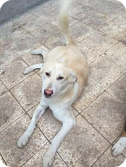 Hound (Unknown Type) Dog for adoption in Monroe, New Jersey - Bianco-Baladi/Egyptian Dog