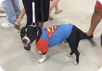 English Bulldog/Terrier (Unknown Type, Medium) Mix Dog for adoption in Troy, Illinois - Tundra
