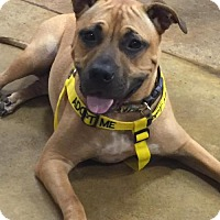 Pit Bull Terrier Mix Dog for adoption in Charlotte, North Carolina - Bristol