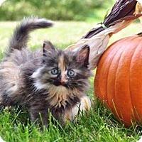 Domestic Shorthair Kitten for adoption in Fenton, Missouri - Tahani