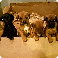 Adopt A Pet :: Hound/Lab mix pups! - Chicago, IL
