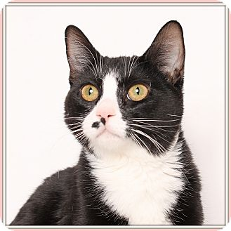 Domestic Shorthair Cat for adoption in Glendale, Arizona - Cindi Pawfurr