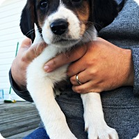 Treeing Walker Coonhound/Beagle Mix Puppy for adoption in Virginia Beach, Virginia - Teena