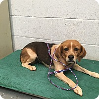 Beagle Mix Dog for adoption in Media, Pennsylvania - Sally