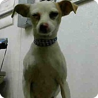 Chihuahua Mix Dog for adoption in San Bernardino, California - URGENT on 11/29 @DEVORE