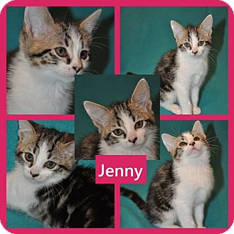 Domestic Shorthair Kitten for adoption in Hagerstown, Maryland - Jenny