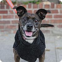 Adopt A Pet :: Molley - Brooklyn, NY
