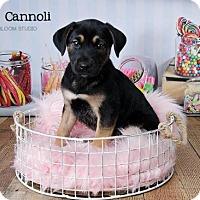 Adopt A Pet :: Cannoli - Denver, CO