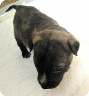 American Pit Bull Terrier Mix Puppy for adoption in Copperas Cove, Texas - Liberty's Clyde