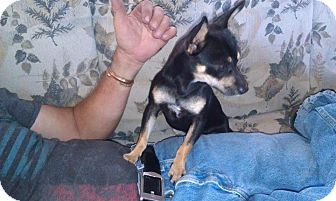 Chihuahua/Miniature Pinscher Mix Dog for adoption in Fresno, California - Pita