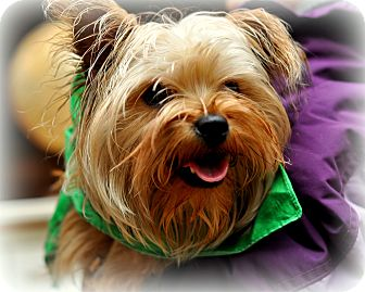 Yorkie, Yorkshire Terrier/Brussels Griffon Mix Dog for adoption in Sparta, New Jersey - Toby
