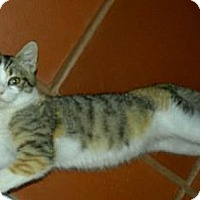 Calico Cat for adoption in Rohrersville, Maryland - Jet