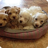 Adopt A Pet :: 4 cocapoo puppies - Goleta, CA