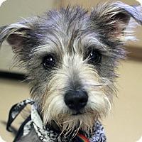 Adopt A Pet :: RASCAL - Hurricane, UT