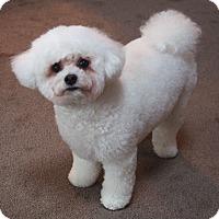 Adopt A Pet :: Snowball - Vaudreuil-Dorion, QC