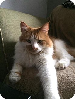 Turkish Angora Cat for adoption in Harrisonburg, Virginia - Nala