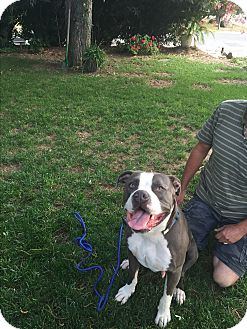 American Staffordshire Terrier/Mastiff Mix Dog for adoption in Sacramento, California - Oliver, you will fall in love!