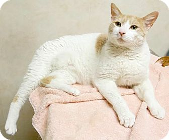 Domestic Shorthair Cat for adoption in Montclair, New Jersey - Reeses