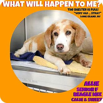 Beagle Mix Dog for adoption in Wantagh, New York - Allie