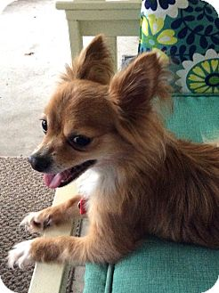 Pomeranian/Chihuahua Mix Dog for adoption in Jacksonville, Florida - Prince
