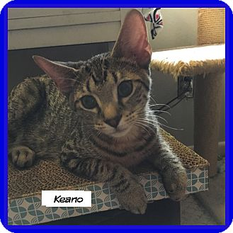 Domestic Shorthair Cat for adoption in Miami, Florida - Keano