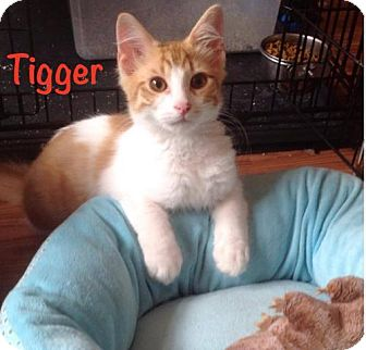 Domestic Shorthair Cat for adoption in Marlton, New Jersey - Tigger