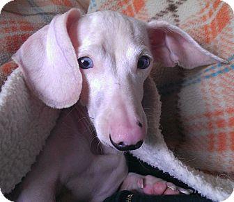 Dachshund Dog for adoption in Portland, Oregon - LILY